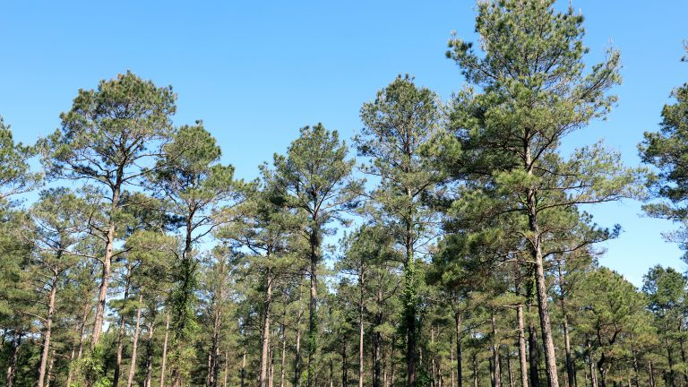 Working forest in southern Arkansas within the Morehouse catchment area